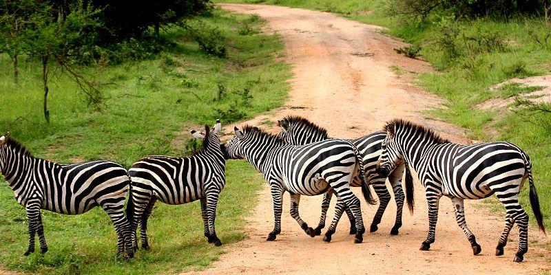 3-days-lake-mburo-wildlife-safari-zebras-in-uganda
