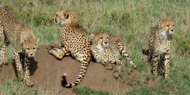Cheetah-Kidepo-Valley-National-Park-Uganda